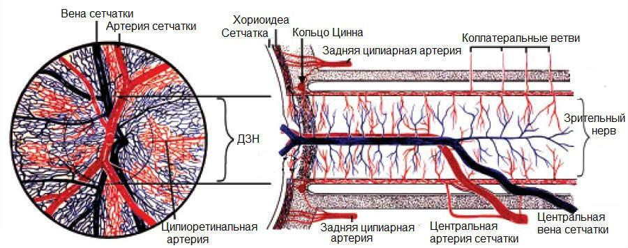 Кровообращение сетчатки