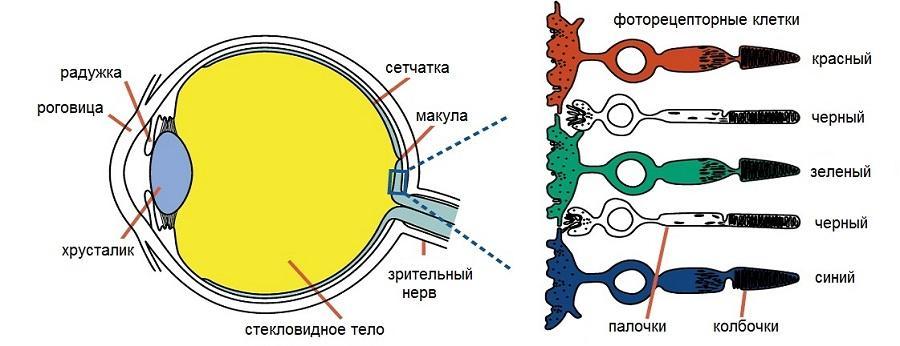 Зрительные пигменты сетчатки глаза